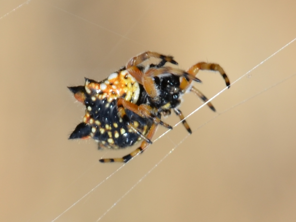 Six-Horned Christmas Spider, Coorong, South Australia (November 25, 2012)